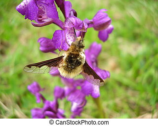 Bombylius major on a Jersey orchid - Bombylius major...