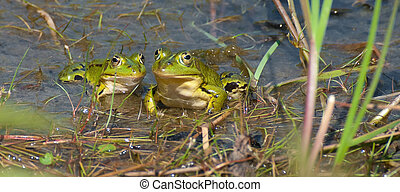green frogs - The Edible Frog (Pelophylax klepton...
