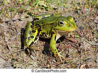 green frog - The Edible Frog (Pelophylax klepton esculentus)...