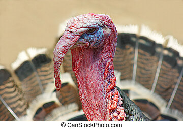 gobbler - portrait of a male turkey