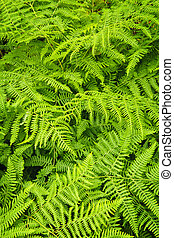 Fern background - Background of lush bright green fern...