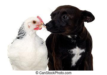 pollo, perrito, perro