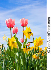 Tulips and Narciss - Nice blossom of spring, tulips, narciss...