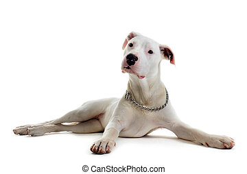 puppy dogo argentino - portrait of a purebred puppy...