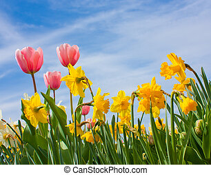 Tulips and Narciss - Nice blossom of orange tulips in a...