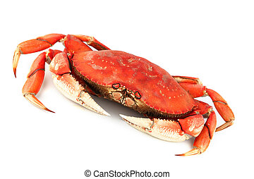 dungeness crab isolated on white