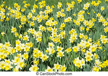 narcissus meadow