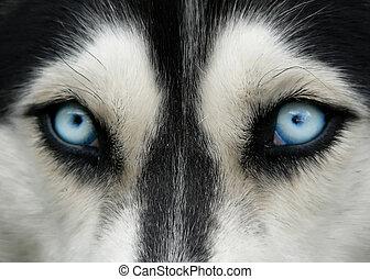 dog blue eyes - close-up shot of husky dog blue eyes