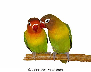 Lovebirds isolated on white Agapornis fischeri (Fischer's...
