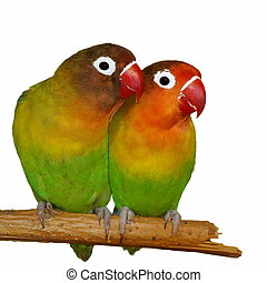 Lovebirds isolated on white Agapornis fischeri Fischers...
