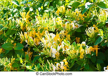 Honeysuckle-Lonicera - This is a shot of Lonicera flower in...