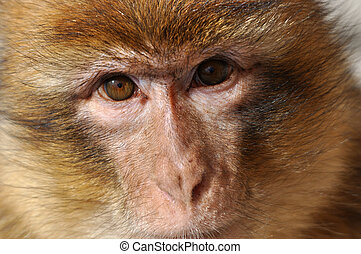 Barbary Macaque (Macaca sylvanus) staring at you