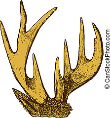 Trophy of antlers - Trophy of antlers isolated on white...