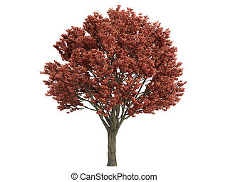 Maple or Acer griseum - Maple or latin Acer griseum isolated...