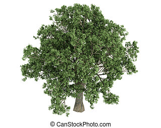 Oak or Quercus - Oak or latin Quercus isolated on white...