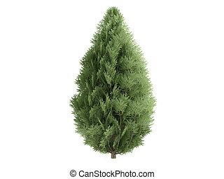 Cypress or Chamaecyparis lawsoniana - Cypress or latin...