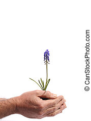 Safely growing - Hands with growing hyacinth