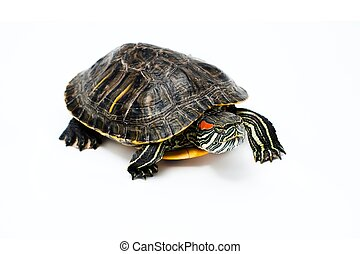 Turtle on white background - Red Eared Turtle isolated on...
