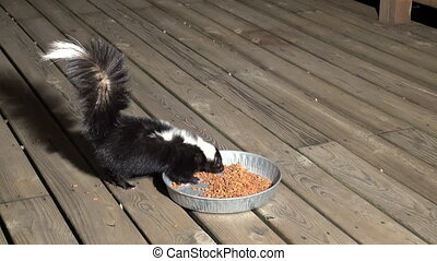 Skunk stealing food - A skunk steals cat food from an...