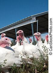 Turkeys in a pasture