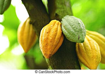 cacao, vainas