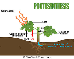 Photosynthesis, vector illustration Helpful for Education...