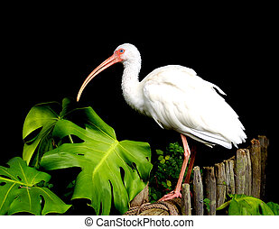 Ibis beautiful white topical bird - American, Ibis,...