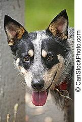 Blue Heeler Dog - A classic Australian cattle dog, the Blue...