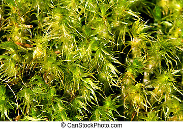 Green Moss Background (Sphagnum spp) - A macro shot of green...