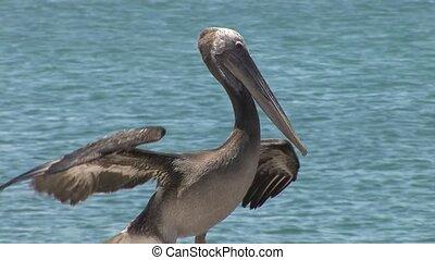 Pelikan flying
