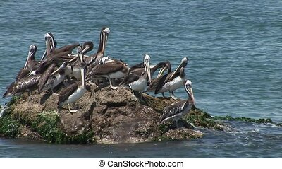 Many Pelican Birds