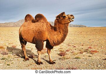 Camel - Big camel in mongolian desert