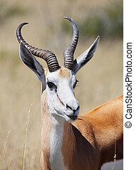 Springbok antelope - Male of springbok antelope, Etosha...