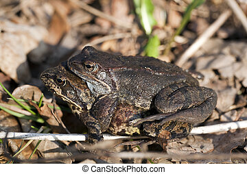 field frog - two field frogs during copulation in forest