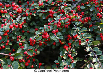 Red berry - Closeup shot of red berry bush