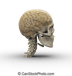 Male skull and brain. - Male skull with brain showing...