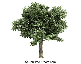 Oak or Quercus petraea - Oak or latin Quercus petraea...