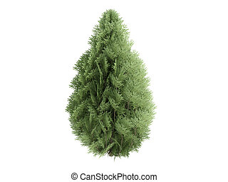 Cypress or Chamaecyparis lawsoniana - Cypress or latin...