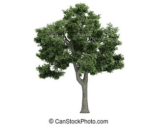 Ash or Fraxinus - Ash or latin Fraxinus isolated on white...