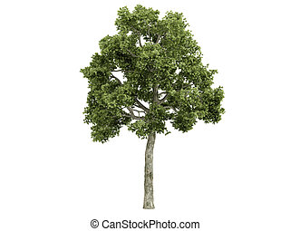 Ash-tree or Fraxiuns - Ash-tree or latin Fraxiuns isolated...
