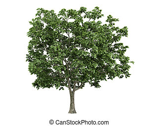 Maple or Acer platanoides - Maple or latin Acer platanoides...