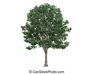 Linden or Tilia - Linden or latin Tilia isolated on white...