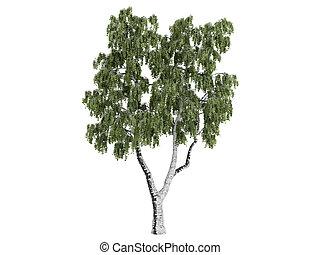 Birch or Betula - Birch or latin Betula isolated on white...