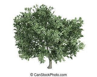 Olive or Olea europaea - Olive or latin Olea europaea...