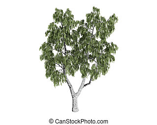 Birch or Betula - Birch or latin Betula isolated on white...