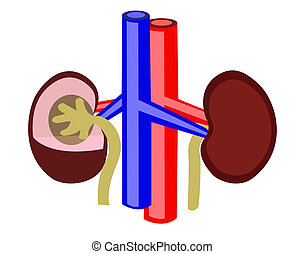 Kidney - Human kidney and vessels on a white background