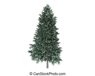 Spruce or Picea abies - Spruce or latin Picea abies isolated...