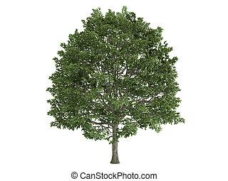 Hornbeam or Carpinus - Hornbeam or latin Carpinus isolated...