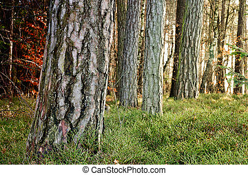 Tree Trunks - Forest with tree trunks and moss covered...