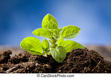 Small Oregano Plant - photo of small growing oregano plant...